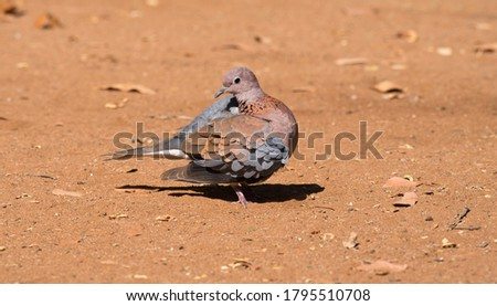 portrait picture of a blue grey and maroon color dove perched on the ground