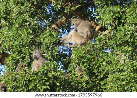 Very sleepy chacma baboons in a tree.