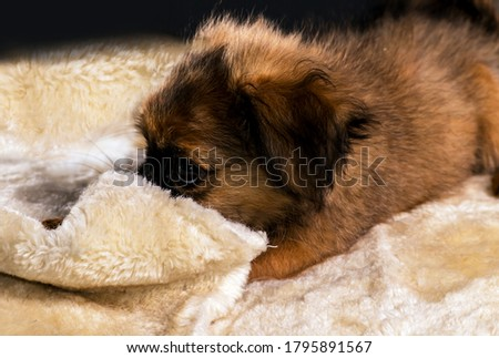 Indoors photo of little furry dog lying down on furry clothes.