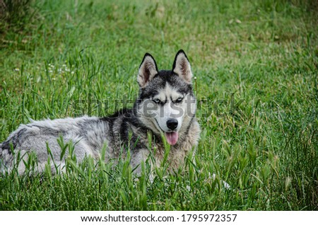 A husky dog lies on the green grass for a walk on a summer day.