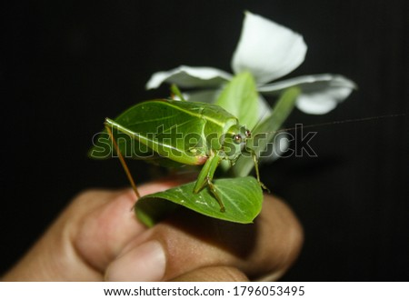 a picture of leaf grasshopper or bush cricket