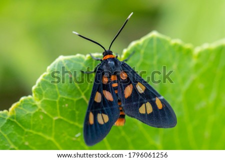 White Antenna Wasp Moth resting on a leaf near Newcastle Airport, NSW, Australia on an spring afternoon in November 2019 Royalty-Free Stock Photo #1796061256