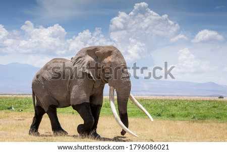Large bull elephant with enormous tusks walking in the Amboseli plains in Kenya Royalty-Free Stock Photo #1796086021