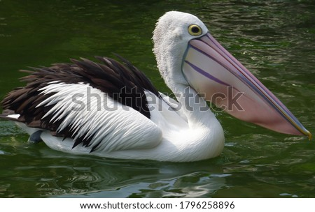 Pelicans (Pelecanus onocrotalus) are a genus of large water birds that makes up the family Pelecanidae. They are characterised by a long beak and a large throat pouch used for catching prey. Royalty-Free Stock Photo #1796258896