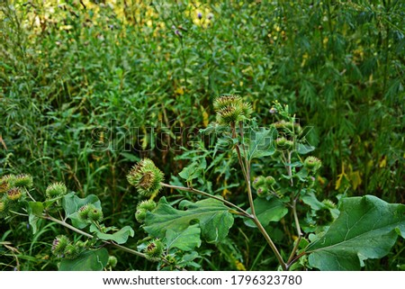 Prickles of a burdock. Picture for pharmacies. Medicinal weed. Nature near us. The plant used in folk medicine.Drug plant shovel large (Arctium lappa)