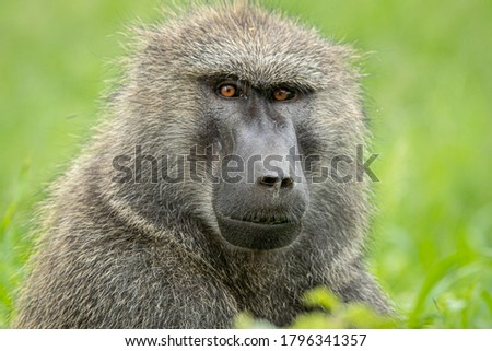 Olive baboon in Kenya, East Africa close-up head and shoulders shot