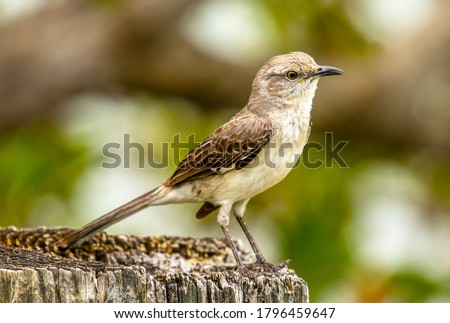 Photograph of a Northern Mockingbird singing away from the top of a post in south Florida.