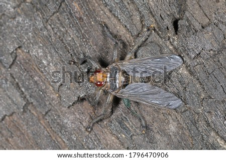 Pigeon louse fly (Pseudolychia canariensis) a parasitic pigeon fly.