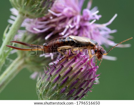 male common or European earwig, Forficula auricularia,with very large pincers, perched on top of a thistle flower head, side view. Boundary Bay saltmarsh