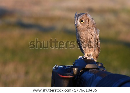 The owl is sitting on the camera. Scops Owl.