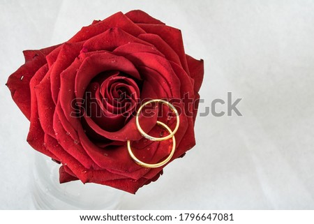 two ring or red rose flower with white surface close up photo. #1796647081