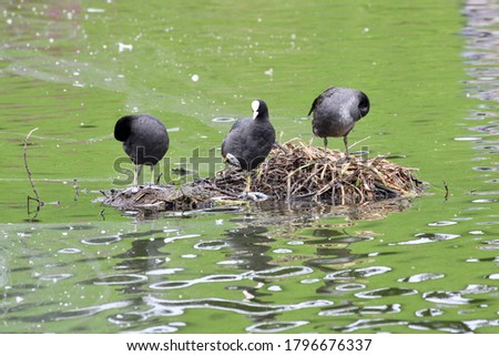 Three Eurasian Coots Standing on a Nest in the Water #1796676337
