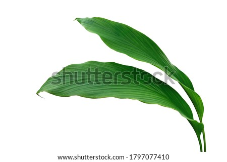 Green leaves of turmeric (Curcuma longa) ginger medicinal herbal plant isolated on white background, clipping path included.	 #1797077410