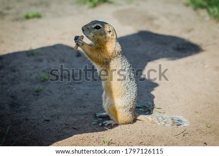 A gopher on the green grass with a piece of bread in its paws in the shadow of a man standing nearby.