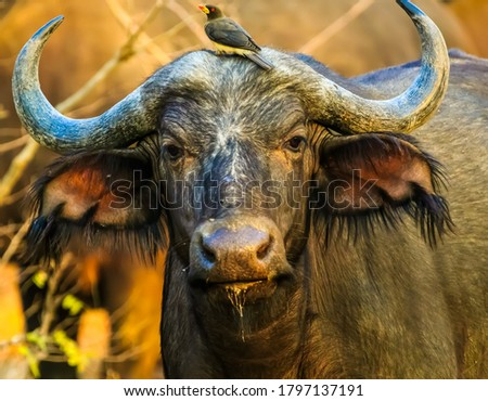 Beautiful picture of wild Buffalo in wild life