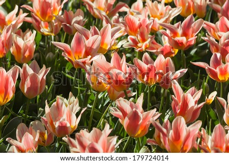 Row of multicolored tulips #179724014