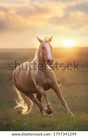 Palomino horse run gallop in meadow at sunset light #1797341299