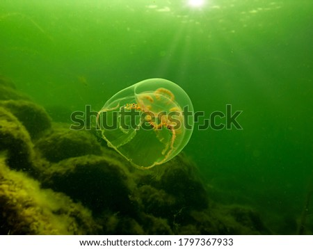 A Moon jellyfish or Aurelia aurita with yellow and green seaweed in the background. Picture from Oresund, Malmo Sweden. Cold green water