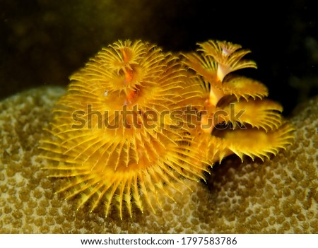 Yellow Christmas tree worm growing from hard coral
