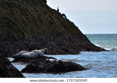 Atlantic Grey Seals perched on rocks, pictured Angel Bay, Wales.