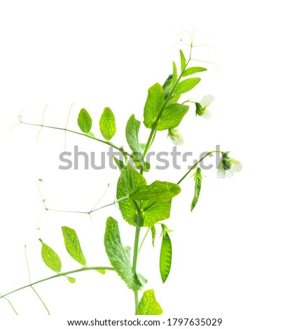 Peas plant. Pods of young green peas. Sweet Pea (pisum sativum). Branch of green pea on white background. Flowers of peas. #1797635029