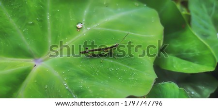 A picture of locusts on a talas leaf