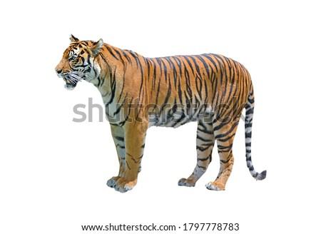 Bengal tiger (panthera tigris tigris) full lenght  isolated on white background. Royalty-Free Stock Photo #1797778783
