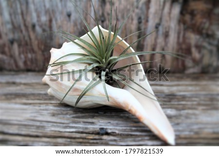 A native air plant, Tillandsia, placed inside a shell planter to be used as coastal decor for a beach cottage. Air plants are low maintenance plants, and require no soil. Air plants purify air. Royalty-Free Stock Photo #1797821539