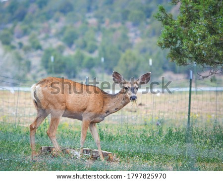 Wild Mule Deer in the countryside of Delta Colorado