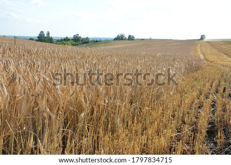 Barley field detail.Field of barley and barley plants at sunset, with sky in the background. Barley agriculture. #1797834715