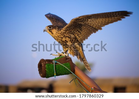 Gyr falcon Beautiful picture sitting on   hand
