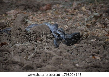 Indian rat snakes in nature before monsoon.These are members – along with kingsnakes, milk snakes, vine snakes and indigo snakes – of the subfamily Colubrinae of the family Colubridae. Royalty-Free Stock Photo #1798026145