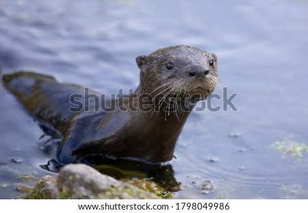 Young river otter comes out of the water to check me out in a local pond near Ottawa, Canada