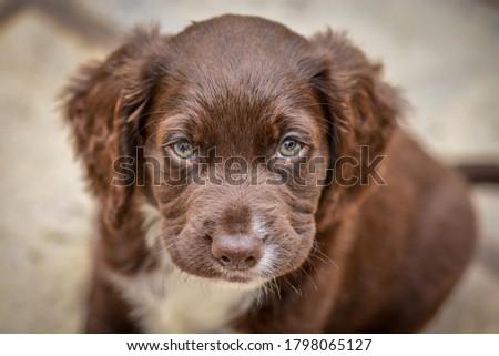 Grumpy face cocker spaniel puppy Royalty-Free Stock Photo #1798065127