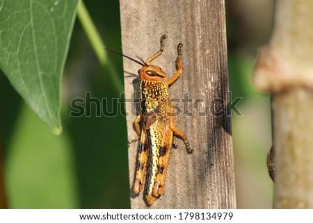 the Meadow grasshopper, little grasshopper