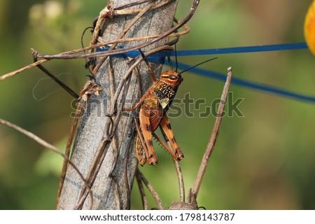 Meadow grasshopper, grasshopper on bamboo stick