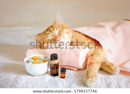 Sleeping cat on a massage towel. Also in the foreground is a bottles of aromatic oil  and chamomile flowers. Concept: massage, aromatherapy, body care. #1798157746