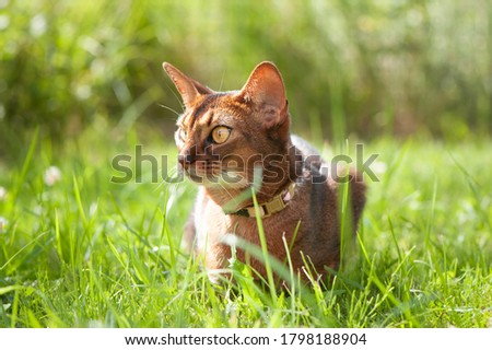Abyssinian cat in collar, lying in juicy green grass. High quality advertising stock photo. Pets walking in the summer