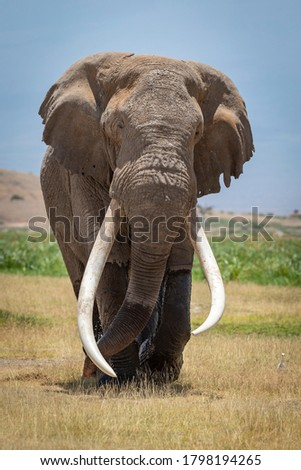 Vertical head on of adult elephant bull called Tim famous for his long white tusks walking in grassy plains of Amboseli National Park in Kenya Royalty-Free Stock Photo #1798194265