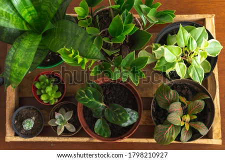 Several houseplants inside a rustic wooden box, on top of a wooden table. Plants such as ZZ plant (Zamioculcas), peperomia, maranta, cactus, succulents, fittonia and snake plant. Flat lay design. Warm Royalty-Free Stock Photo #1798210927