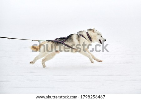 Running Husky dog on sled dog racing. Winter dog sport sled team competition. Siberian husky dog in harness pull skier or sled with musher. Active running on snowy cross country track road