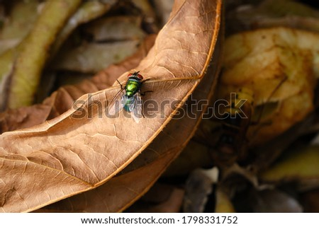 Close up of Common green bottle fly, blow fly, Lucilia sericata on a compost heap. On a old brown tree leaf. Bluebottle or carrion fly, larvae living in decaying material, preferably meat. Royalty-Free Stock Photo #1798331752