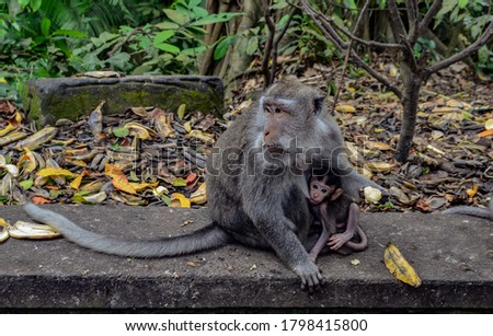 monkey child bites his mother in the chest. they are sitting on a wall and the mother monkey protects her little one. in the backround is the jungle