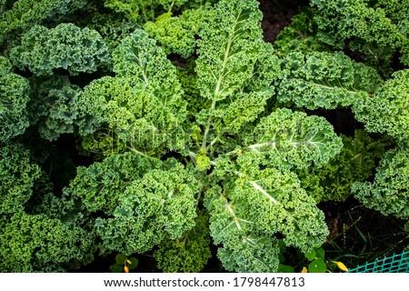 Picture of kale plantation. Healthy lifestyle concept.