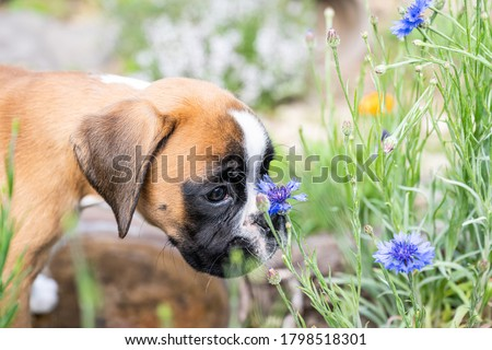 8 weeks young purebred golden puppy german boxer dog smelling flowers in nature Royalty-Free Stock Photo #1798518301
