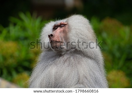 male baboon resting on the rocks with a natural green background