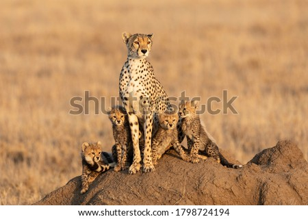 Female cheetah and her four tiny cubs sitting on a large termite mound with a smooth background with copy space in Serengeti Tanzania