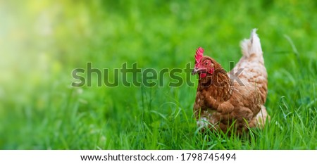 chicken in grass on a farm. Hen on a traditional free range poultry organic farm grazing on the grass with copy space or for banner. Royalty-Free Stock Photo #1798745494