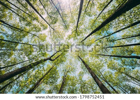 Looking Up In Beautiful Pine Deciduous Forest Trees Woods Canopy. Bottom View Wide Angle Background. Greenwood Forest. Trunks And Branches With Fresh Spring Lush. Royalty-Free Stock Photo #1798752451