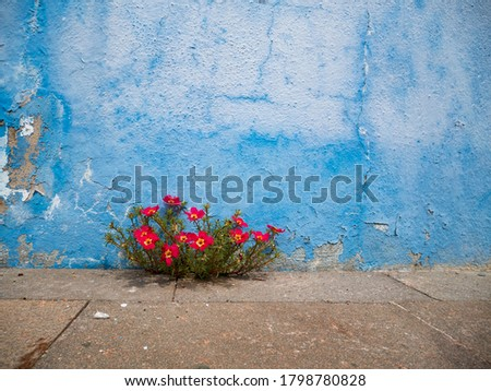 Pink flowers plant growing on crack in pavement background, perseverance concept Royalty-Free Stock Photo #1798780828